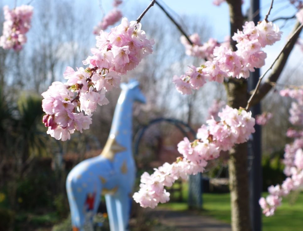 Cherry blossom and giraffe in the garden