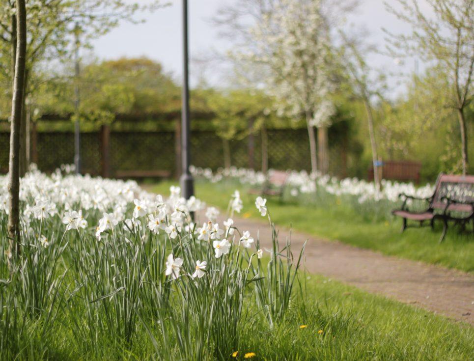 daffodils-by-john