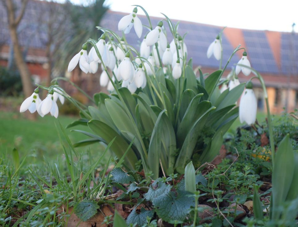 A clump of white flowering snowdrops spring up from the ground in the gardens of St Richard's Hospice.